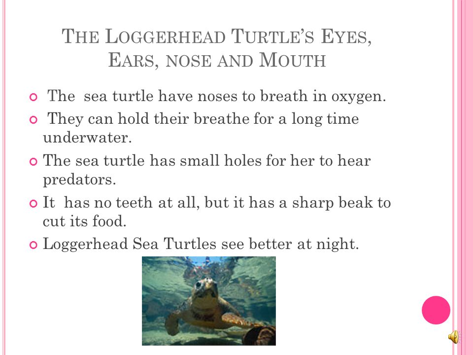 T HE S EA T URTLE S A PPEARANCE Sea Turtles that have protective bony shells around their bodies.