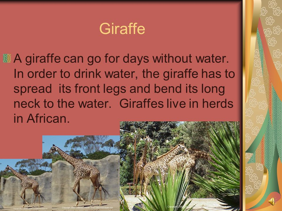 A giraffe is the worlds tallest land animal. He has a long neck so he can eat leaves from trees. tree leaves, and grasslands. He has the same number o