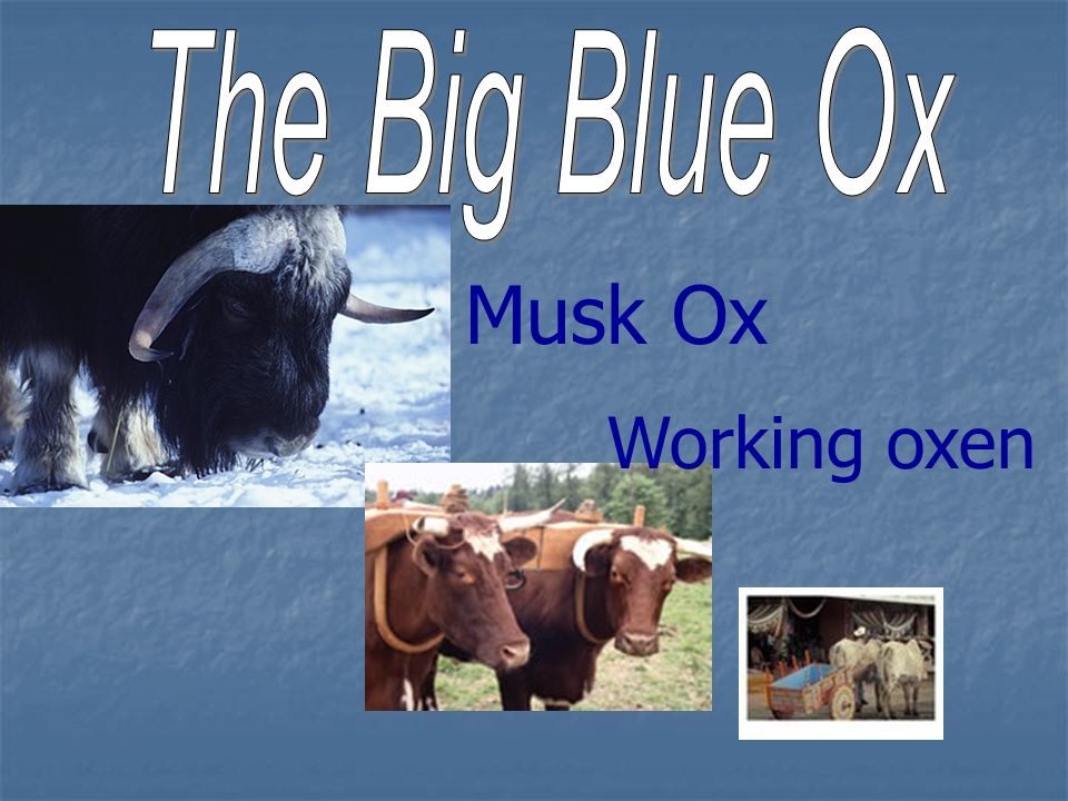 Musk Ox Working oxen