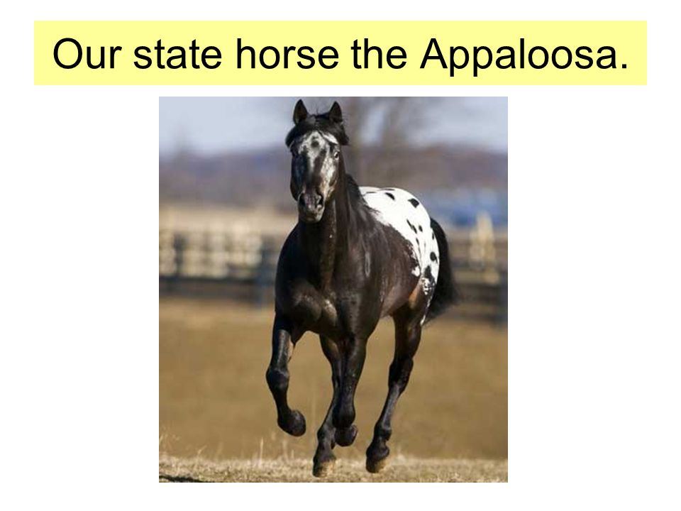 Our state horse the Appaloosa.