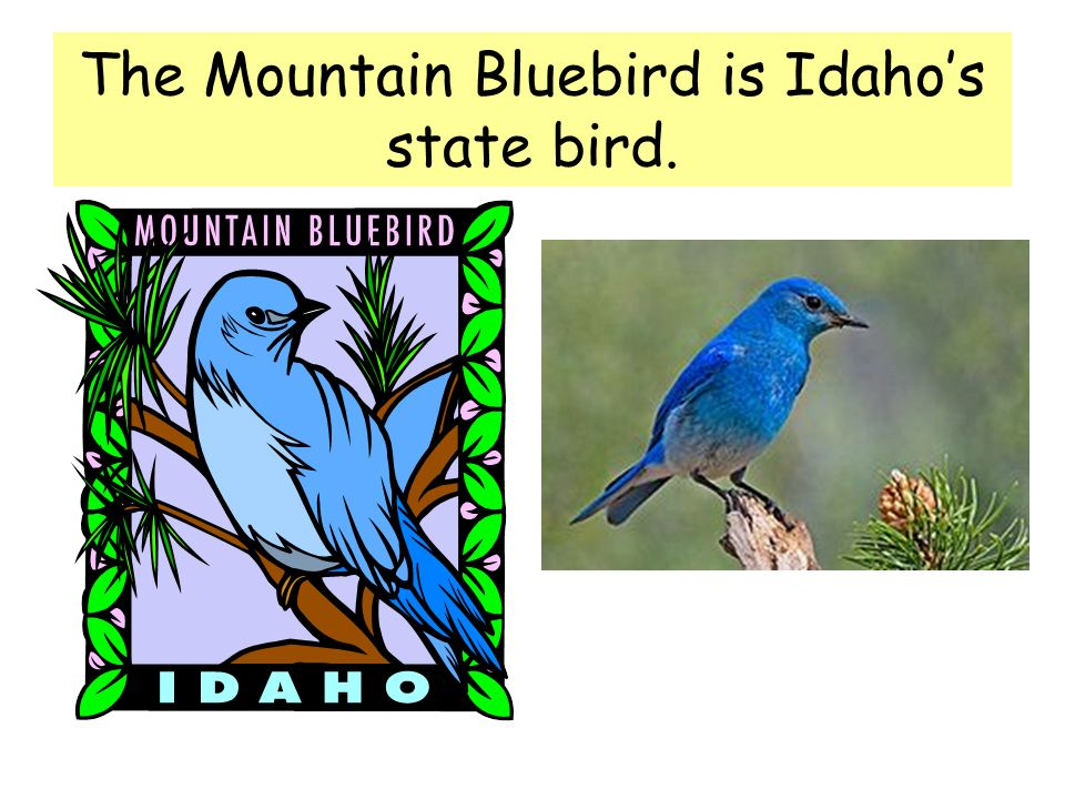 The Mountain Bluebird is Idahos state bird.