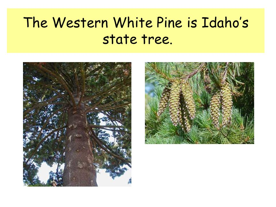 The Western White Pine is Idahos state tree.