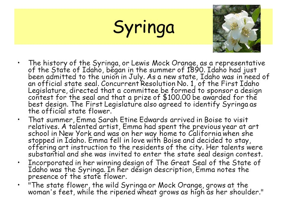 Syringa The history of the Syringa, or Lewis Mock Orange, as a representative of the State of Idaho, began in the summer of 1890.