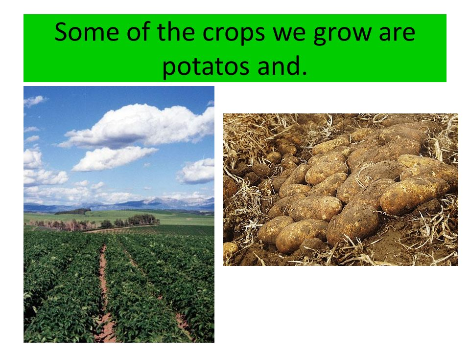 Some of the crops we grow are potatos and.