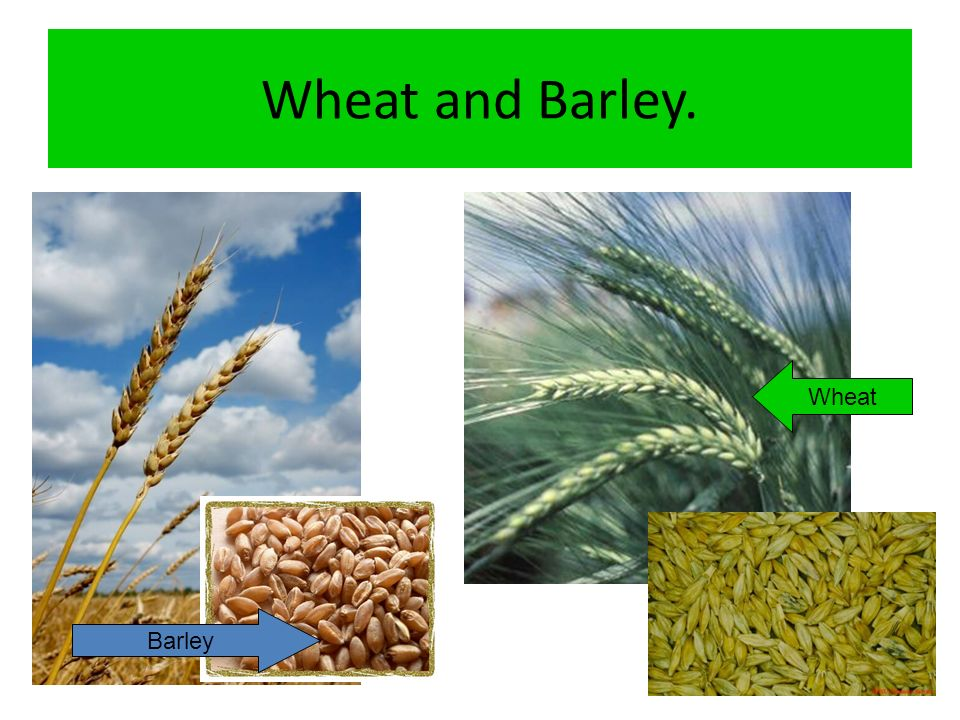 Wheat and Barley. Wheat Barley