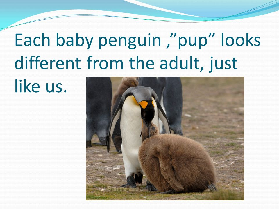 Each baby penguin,pup looks different from the adult, just like us.
