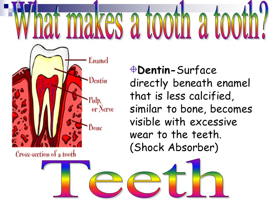 Enamel- White outer surface of tooth, Calcified surface that is stronger than bone.