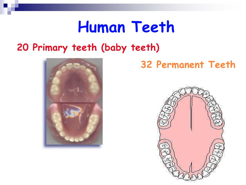Babies Vs. Adults How many teeth does the average baby have? How many teeth does the average adult have? Why is there a difference?