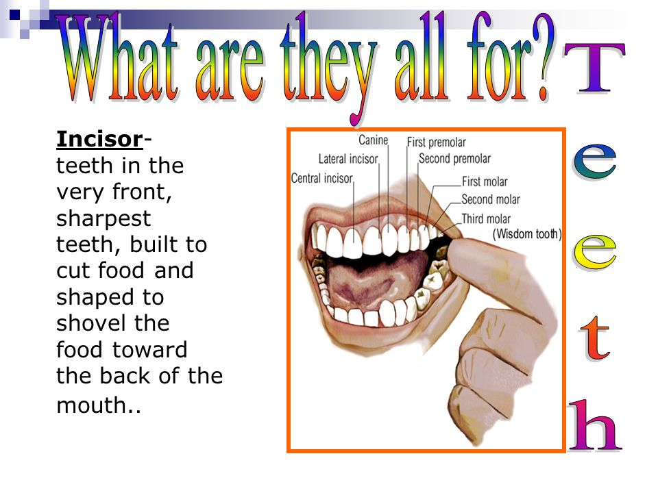 There are four different types of teeth. molarpre molar Incisors and canines