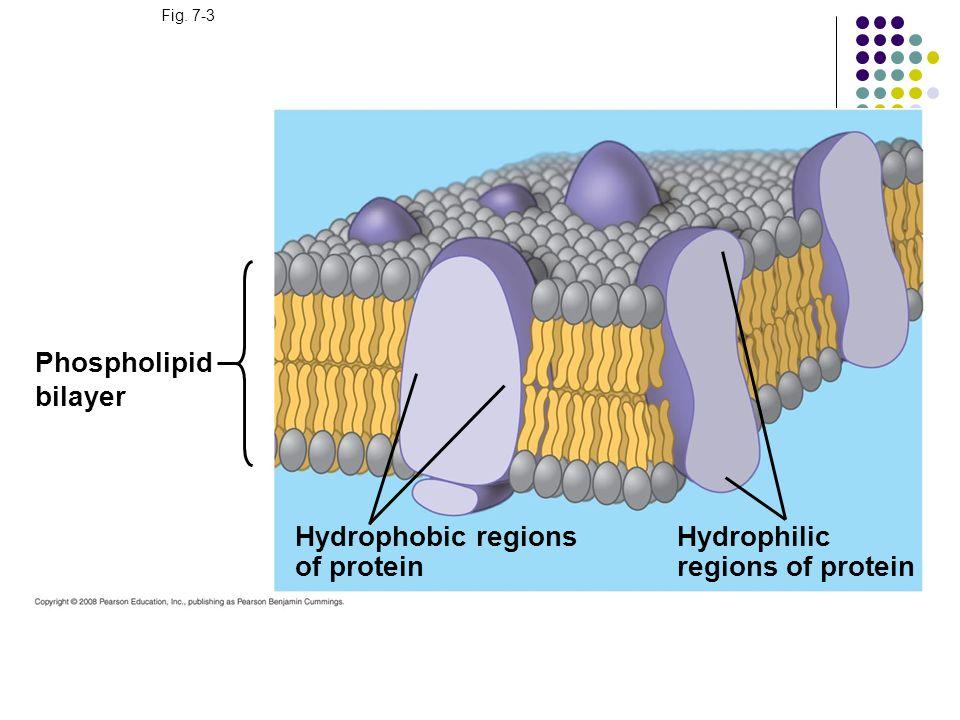 Fig. 7-3 Phospholipid bilayer Hydrophobic regions of protein Hydrophilic regions of protein
