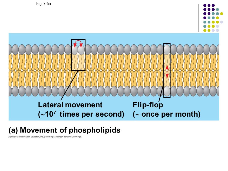 Fig. 7-5a (a) Movement of phospholipids Lateral movement ( 10 7 times per second) Flip-flop ( once per month)