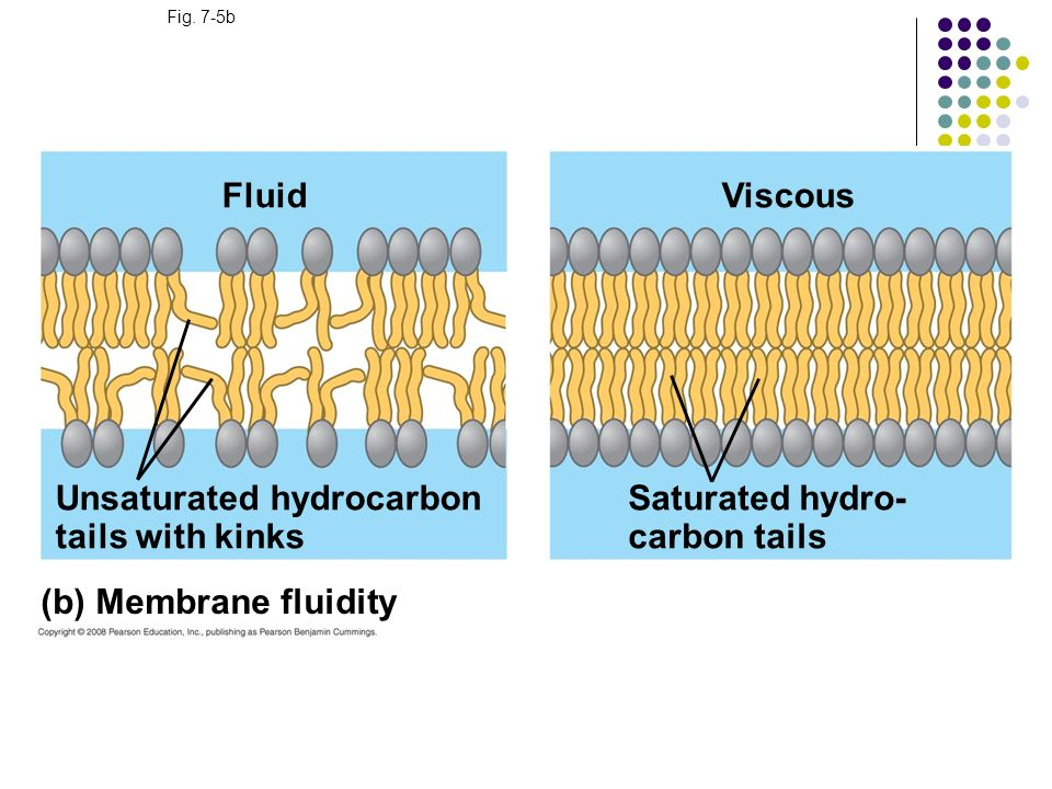 Fig. 7-5b (b) Membrane fluidity Fluid Unsaturated hydrocarbon tails with kinks Viscous Saturated hydro- carbon tails