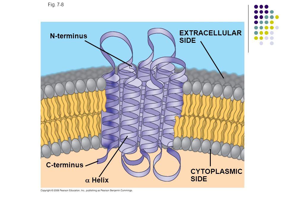 Fig. 7-8 N-terminus C-terminus Helix CYTOPLASMIC SIDE EXTRACELLULAR SIDE