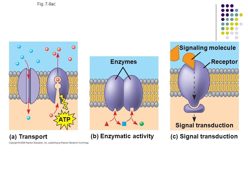 Fig. 7-9ac (a) Transport (b) Enzymatic activity (c) Signal transduction ATP Enzymes Signal transduction Signaling molecule Receptor