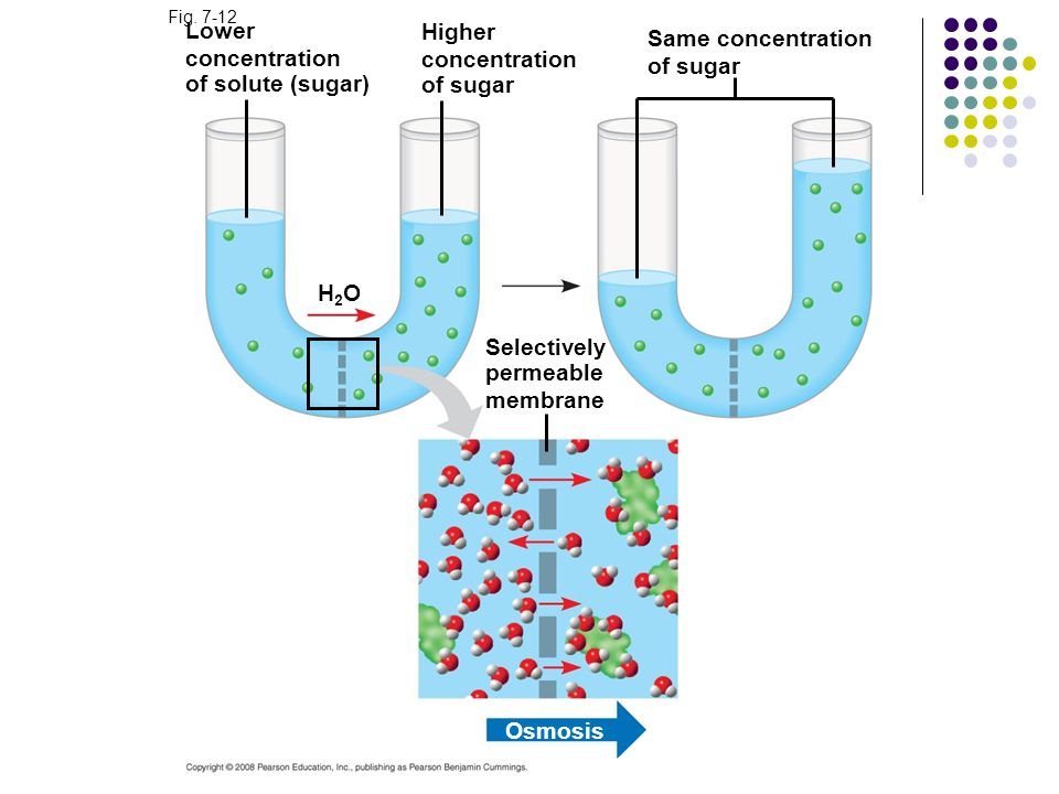 Lower concentration of solute (sugar) Fig. 7-12 H2OH2O Higher concentration of sugar Selectively permeable membrane Same concentration of sugar Osmosi