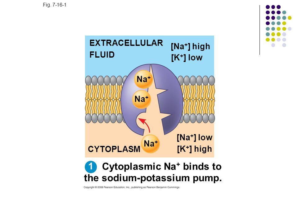 Fig. 7-16-1 EXTRACELLULAR FLUID [Na + ] high [K + ] low Na + [Na + ] low [K + ] high CYTOPLASM Cytoplasmic Na + binds to the sodium-potassium pump. 1