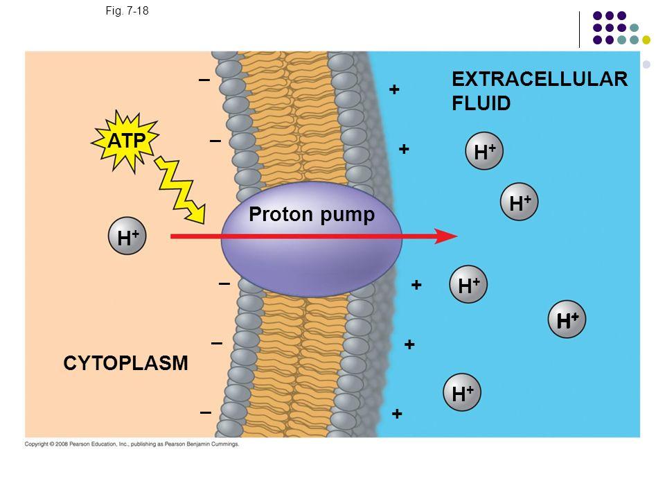 Fig. 7-18 EXTRACELLULAR FLUID H+H+ H+H+ H+H+ H+H+ Proton pump + + + H+H+ H+H+ + + H+H+ – – – – ATP CYTOPLASM –