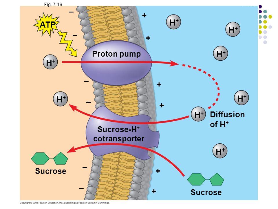 Fig. 7-19 Proton pump – – – – – – + + + + + + ATP H+H+ H+H+ H+H+ H+H+ H+H+ H+H+ H+H+ H+H+ Diffusion of H + Sucrose-H + cotransporter Sucrose
