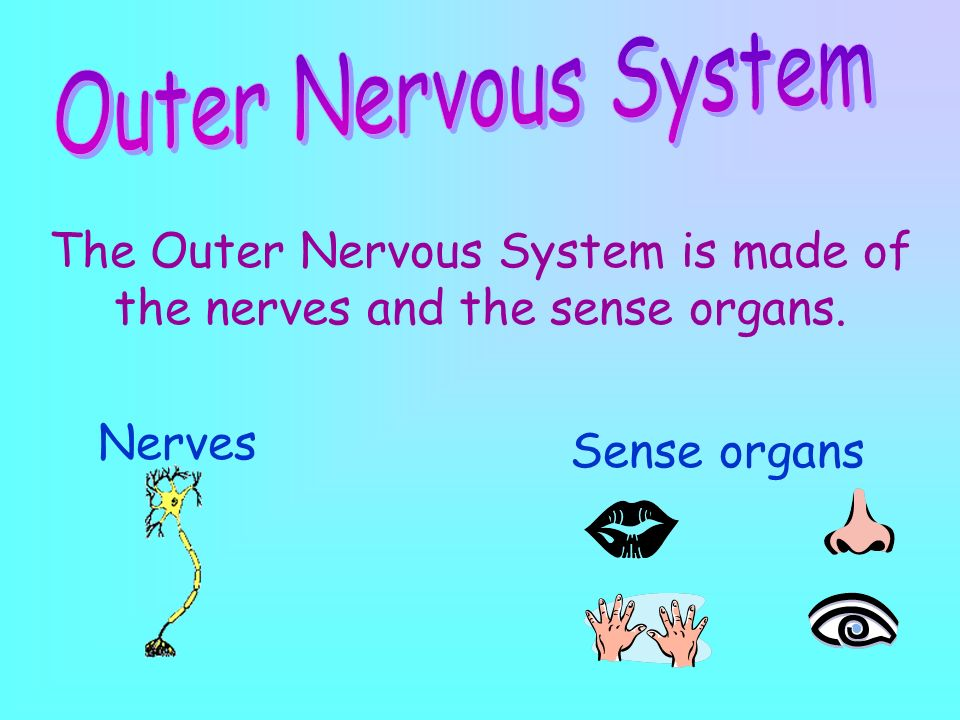 The Central Nervous System is made of the brain and the spinal cord. The Central Nervous System controls everything in the body.