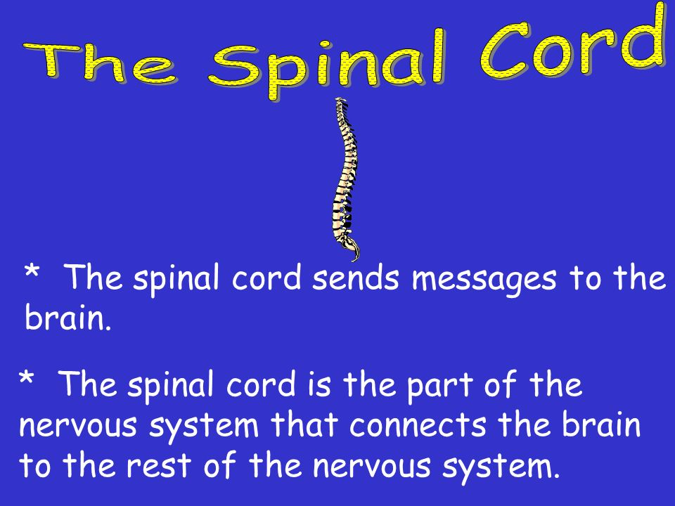 * The Central Nervous System controls all of the bodys activities. * The Central Nervous System is made of two main organs. 1. The brain 2. The spinal