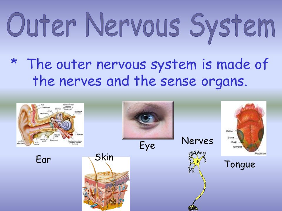 * The Outer Nervous Systems job is to connect the Central Nervous System to the rest of the body. * The outer nervous system carries messages between