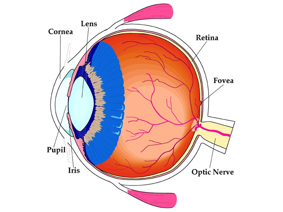 Parts of the Eye Detectors on the Fovea –Rods light intensity and motion sensitive –Cones color sensitive The blind spot for the eye is cause by the o