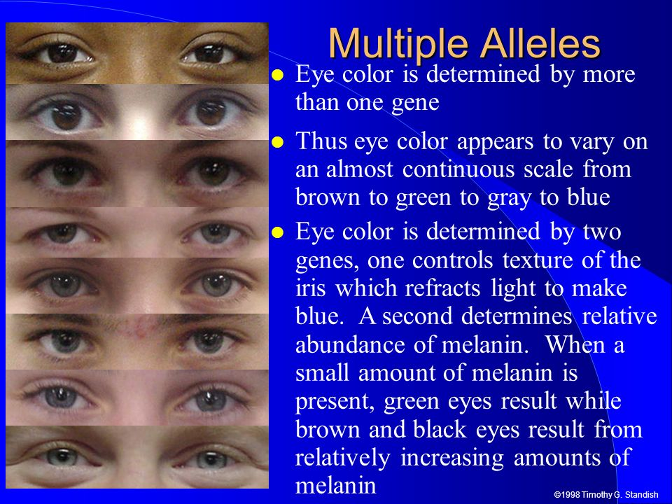 ©1998 Timothy G. Standish Multiple Alleles Eye color is determined by more than one gene Thus eye color appears to vary on an almost continuous scale