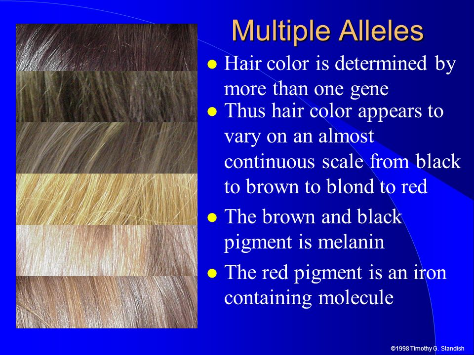©1998 Timothy G. Standish Multiple Alleles Hair color is determined by more than one gene Thus hair color appears to vary on an almost continuous scal