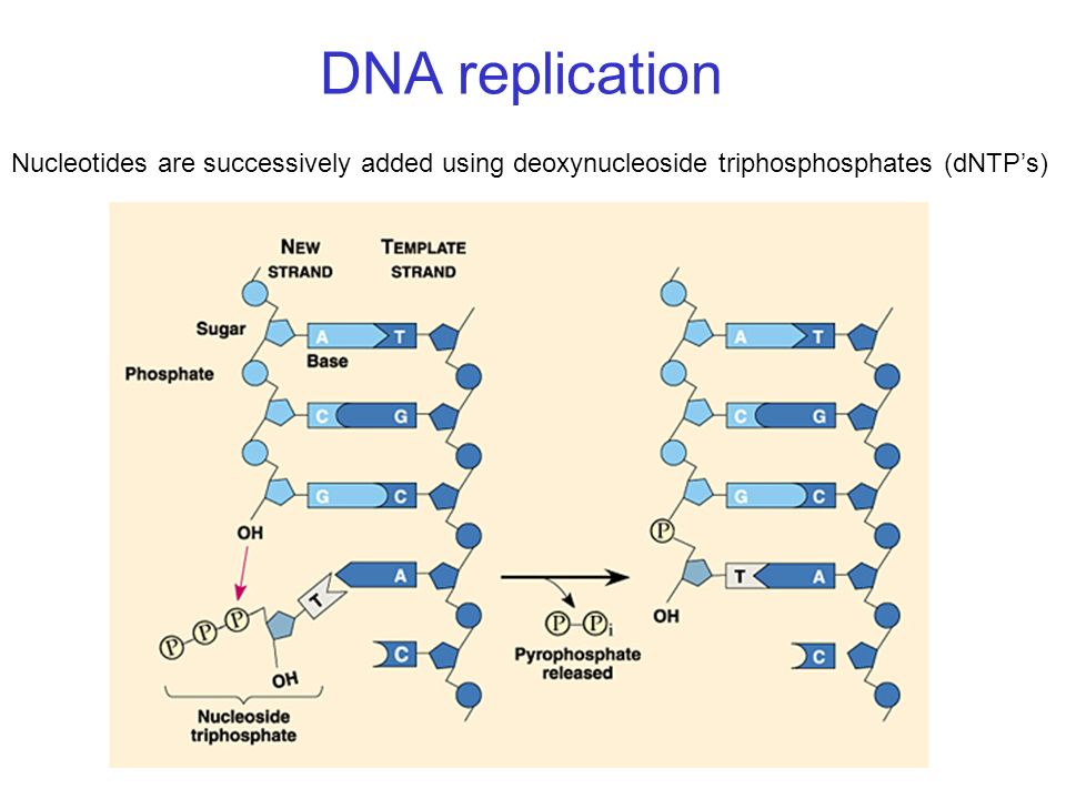 DNA replication Nucleotides are successively added using deoxynucleoside triphosphosphates (dNTPs)