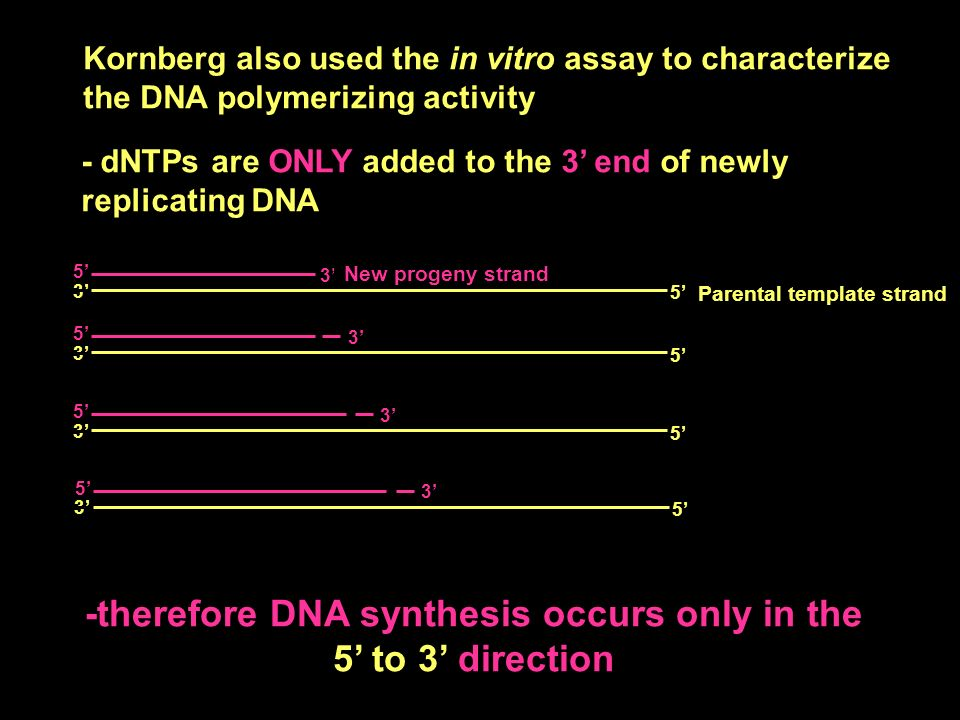 3 Kornberg also used the in vitro assay to characterize the DNA polymerizing activity - dNTPs are ONLY added to the 3 end of newly replicating DNA -therefore DNA synthesis occurs only in the 5 to 3 direction 33 5 3 5 5 3 5 5 3 5 5 3 5 3 Parental template strand New progeny strand