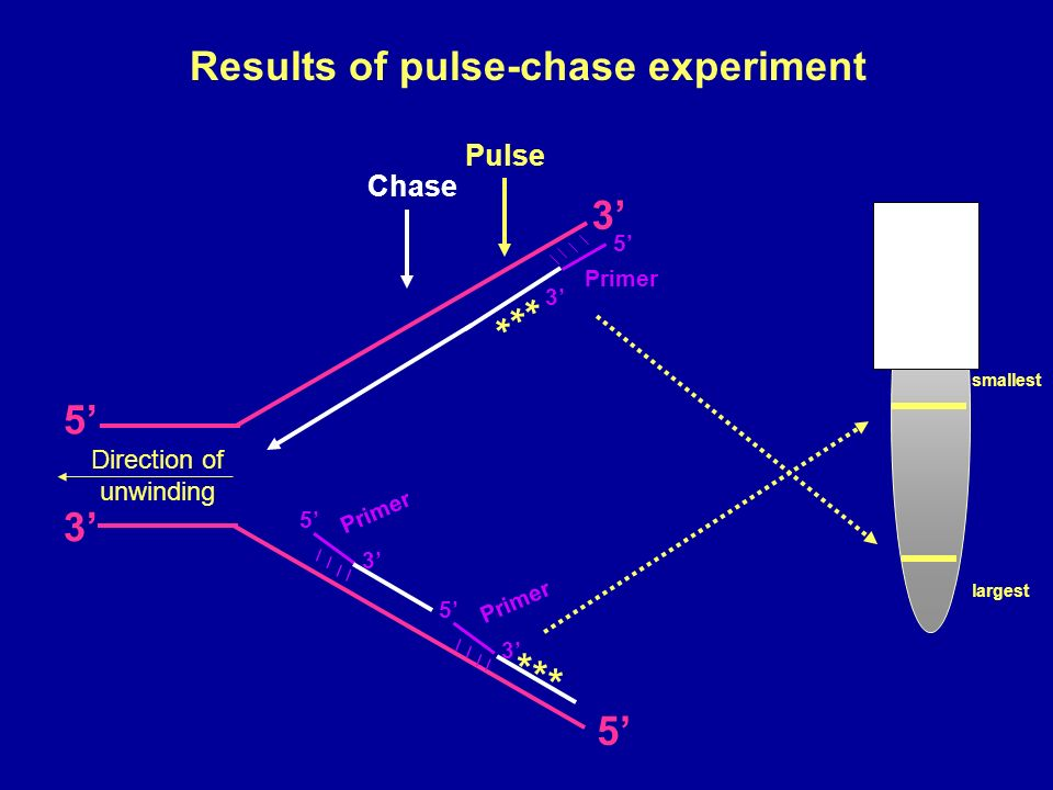 smallest largest Results of pulse-chase experiment Pulse 5 3 5 3 Direction of unwinding 3 5 Primer 5 3 5 3 * * * * * * Chase
