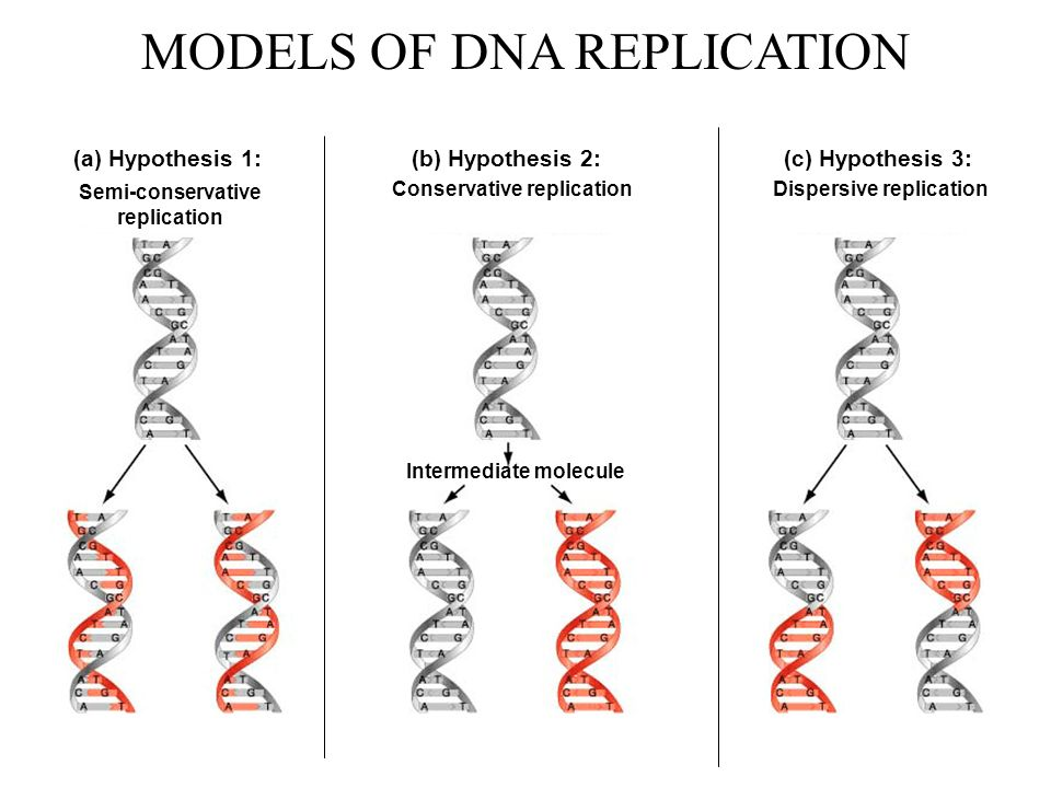 Arthur Kornberg (1957) Protein extracts from E.coli + Template DNA Is new DNA synthesized?.