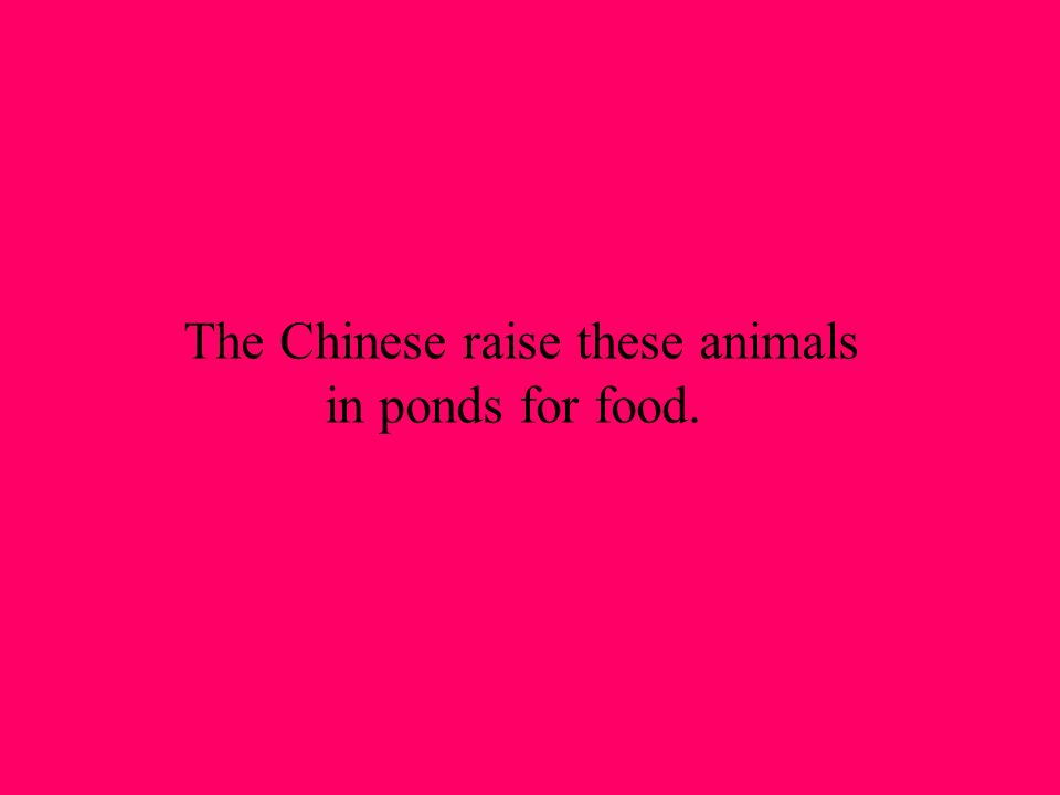 The Chinese raise these animals in ponds for food.