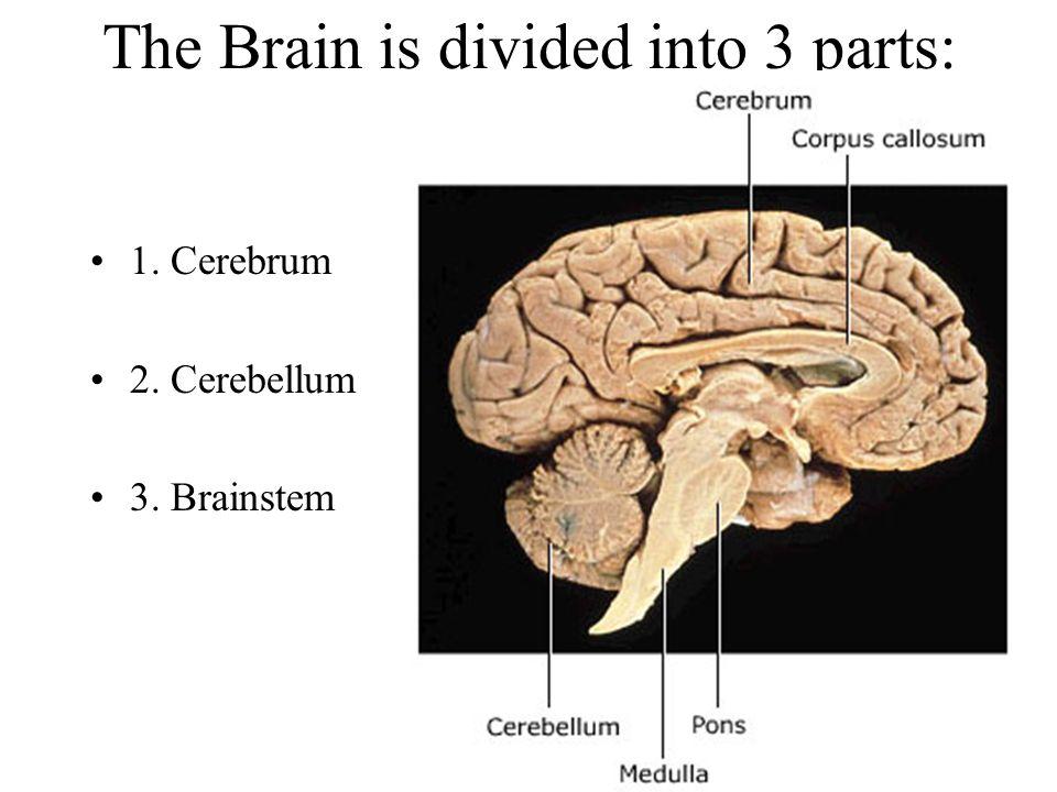 The Brain is divided into 3 parts: 1. Cerebrum 2. Cerebellum 3. Brainstem