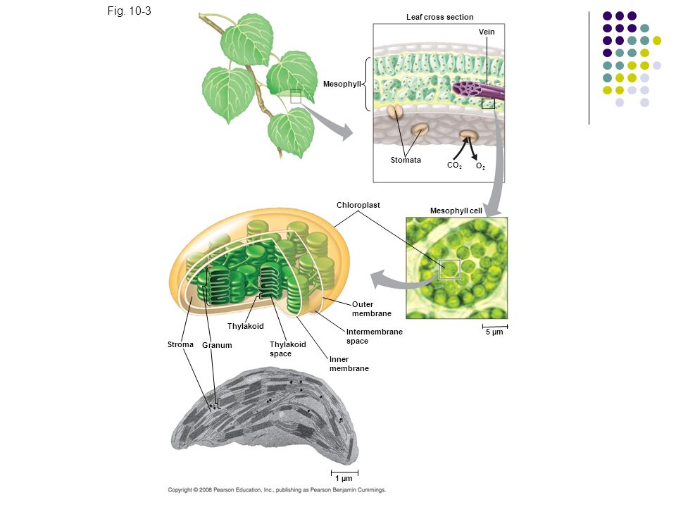 Fig. 10-3 Leaf cross section Vein Mesophyll Stomata CO 2 O2O2 Chloroplast Mesophyll cell Outer membrane Intermembrane space 5 µm Inner membrane Thylak