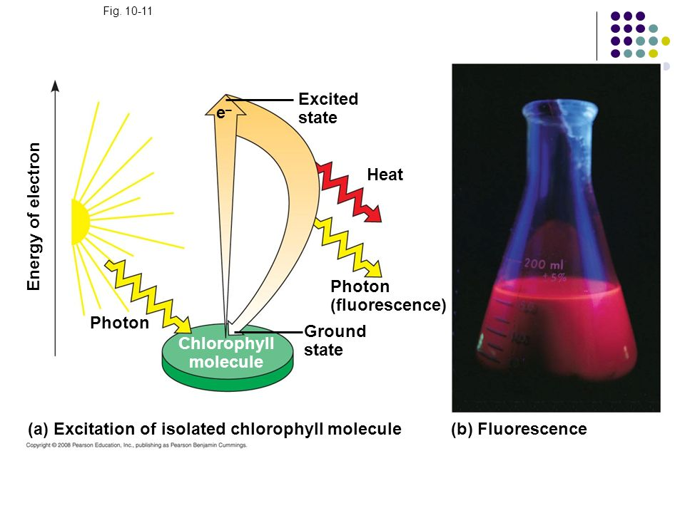 Fig. 10-11 (a) Excitation of isolated chlorophyll molecule Heat Excited state (b) Fluorescence Photon Ground state Photon (fluorescence) Energy of ele