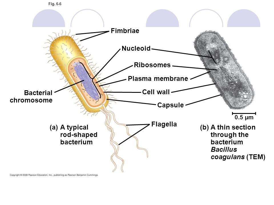 Fig. 6-6 Fimbriae Nucleoid Ribosomes Plasma membrane Cell wall Capsule Flagella Bacterial chromosome (a)A typical rod-shaped bacterium (b)A thin secti
