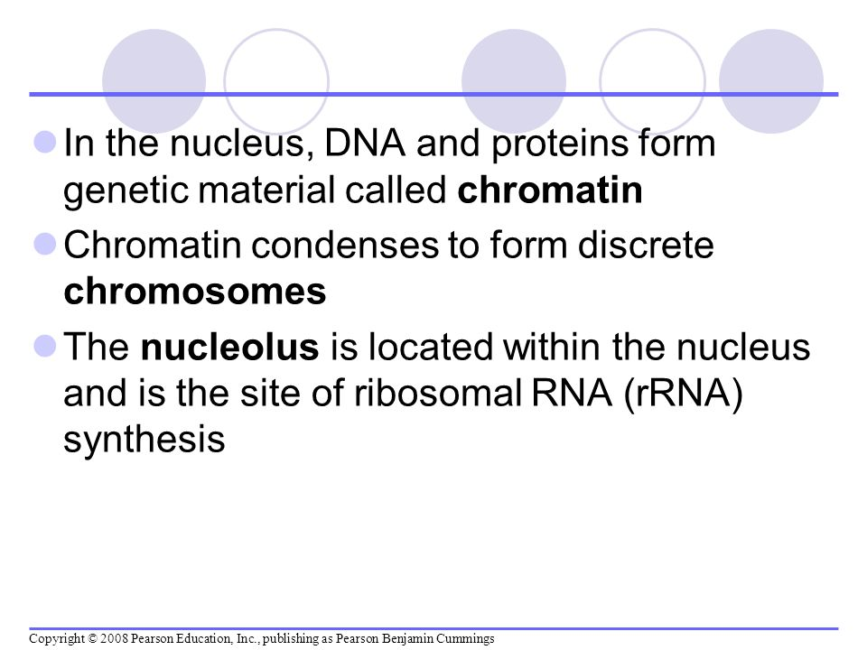 In the nucleus, DNA and proteins form genetic material called chromatin Chromatin condenses to form discrete chromosomes The nucleolus is located with