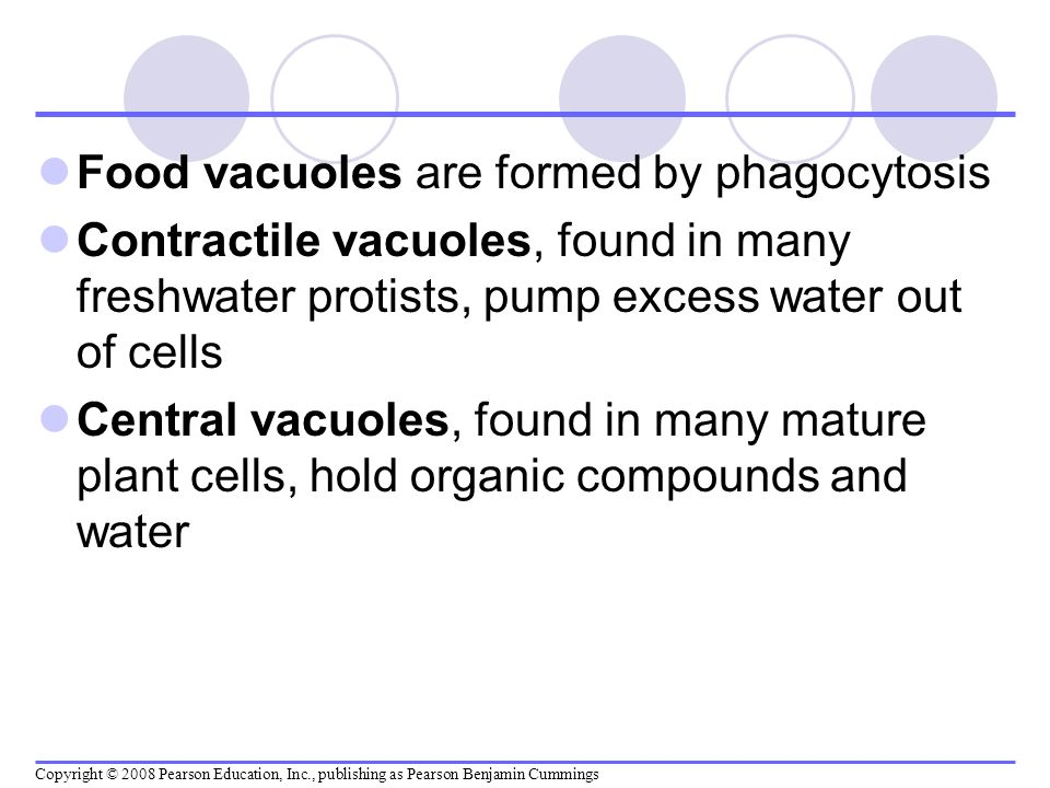 Food vacuoles are formed by phagocytosis Contractile vacuoles, found in many freshwater protists, pump excess water out of cells Central vacuoles, fou