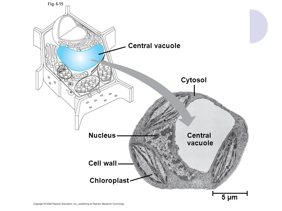 Fig. 6-15 Central vacuole Cytosol Central vacuole Nucleus Cell wall Chloroplast 5 µm