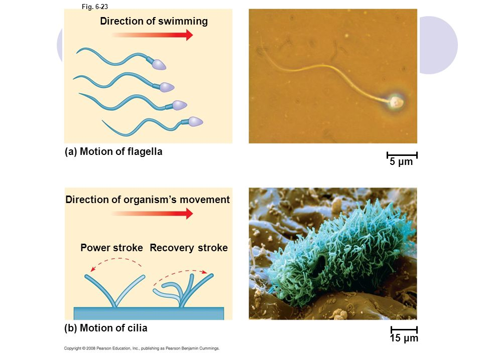 Fig. 6-23 5 µm Direction of swimming (a) Motion of flagella Direction of organisms movement Power strokeRecovery stroke (b) Motion of cilia 15 µm