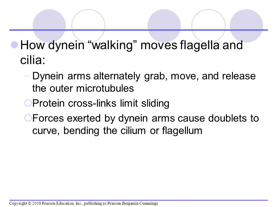How dynein walking moves flagella and cilia: Dynein arms alternately grab, move, and release the outer microtubules Protein cross-links limit sliding