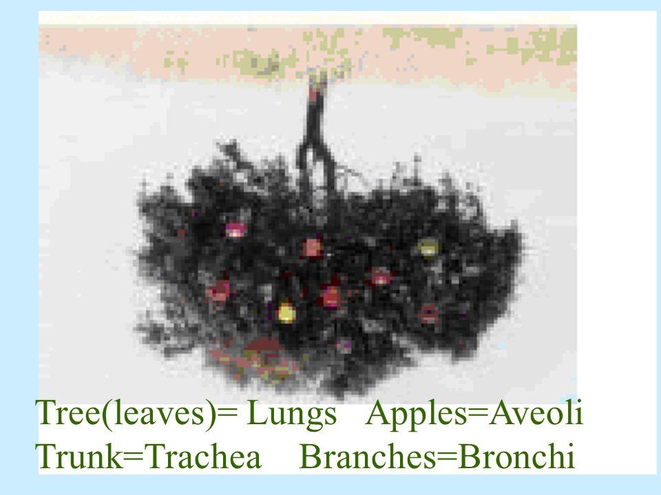 A – Lungs B – Bronchi C – Nose D – Mouth E – Trachea F- Diaphragm