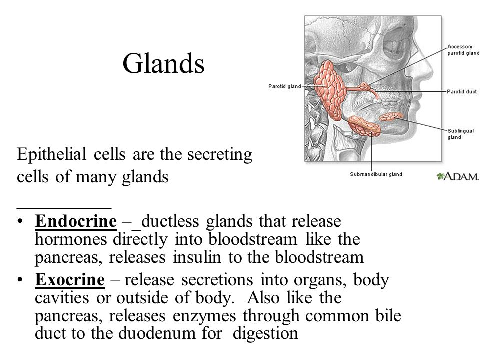 Glands Epithelial cells are the secreting cells of many glands __________ Endocrine –_ductless glands that release hormones directly into bloodstream