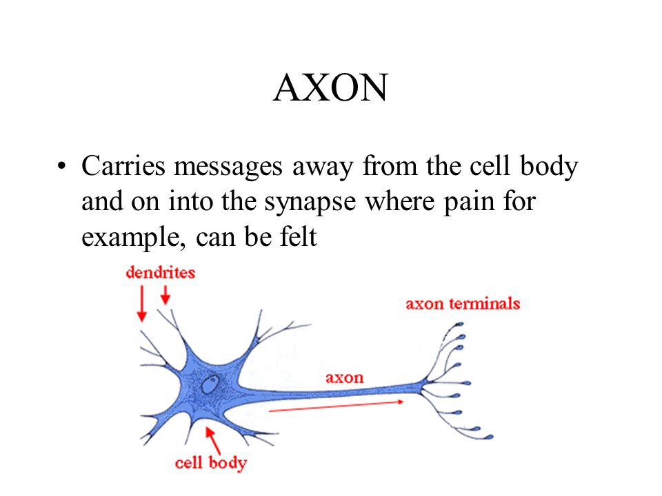 AXON Carries messages away from the cell body and on into the synapse where pain for example, can be felt