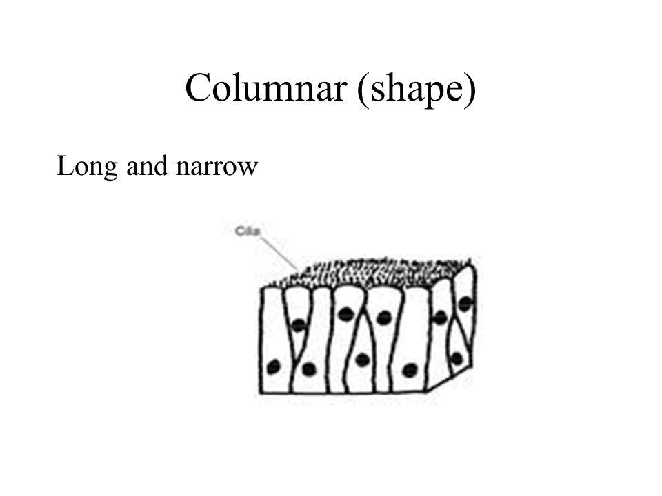 Columnar (shape) Long and narrow