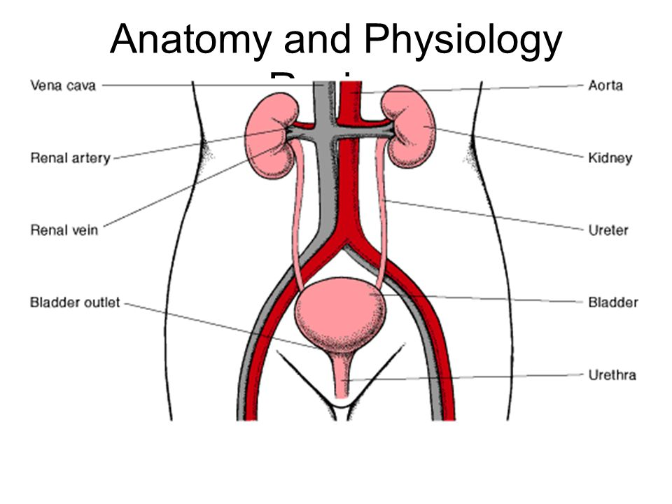 Ziemlich Anatomy And Physiology Of Kidney Galerie - Anatomie Ideen ...