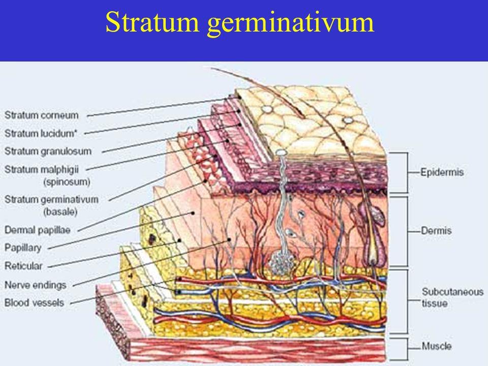 Stratum germinativum
