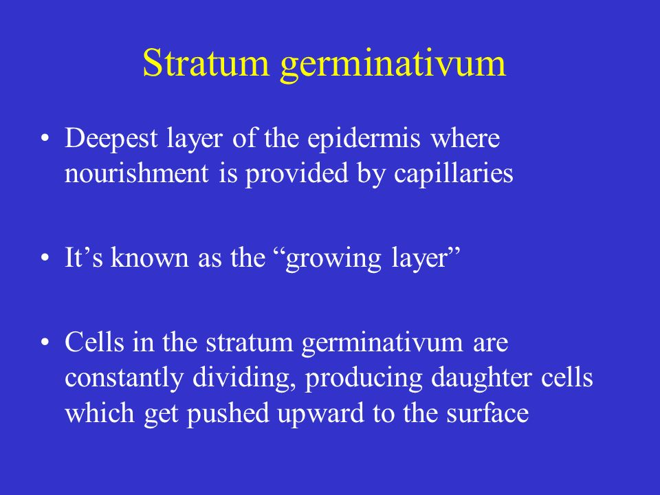 Stratum germinativum Deepest layer of the epidermis where nourishment is provided by capillaries Its known as the growing layer Cells in the stratum g