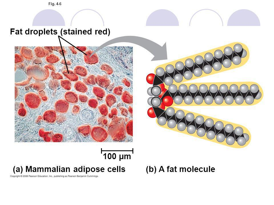 Fig. 4-6 (a) Mammalian adipose cells(b) A fat molecule Fat droplets (stained red) 100 µm